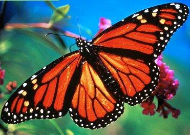 monarch-butterflies jpg