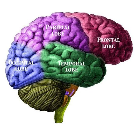 the brain's various lobes, including the frontal lobe